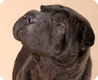 Shar Pei Dog for adoption in Chicago, Illinois - Max