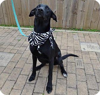 Doberman Pinscher/Labrador Retriever Mix Dog for adoption in Port St. Joe, Florida - Luna