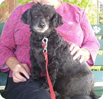 Poodle (Miniature) Mix Dog for adoption in Lathrop, California - Mimi