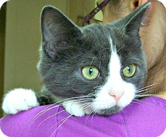 Domestic Shorthair Cat for adoption in Toledo, Ohio - Charlie