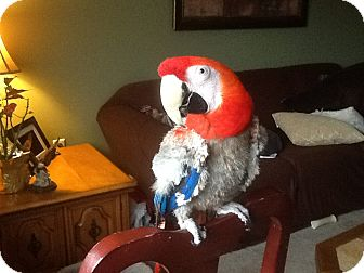Macaw for adoption in Independence, Kentucky - Sailor