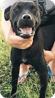 Staffordshire Bull Terrier/Labrador Retriever Mix Dog for adoption in Princeton, Kentucky - Ash