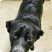 Adopt A Pet :: Dooley (Incredible) - House Springs, MO