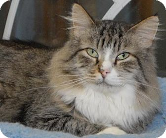 Domestic Longhair Cat for adoption in Jaffrey, New Hampshire - Spitfire