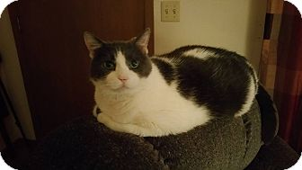 Domestic Shorthair Cat for adoption in Rockford, Illinois - Buddy