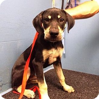Shepherd (Unknown Type) Mix Puppy for adoption in Chalfont, Pennsylvania - Dave