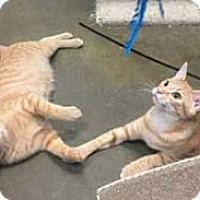 Adopt A Pet :: Cumin - Merrifield, VA