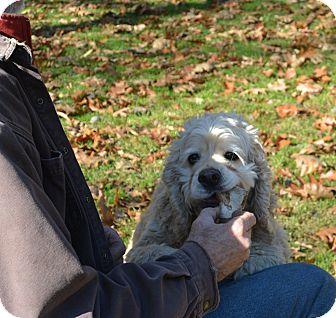 Cocker Spaniel Mix Dog for adoption in Afton, New York - Fluff Nuffy