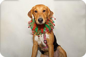 Beagle/Hound (Unknown Type) Mix Dog for adoption in Sagaponack, New York - Grace