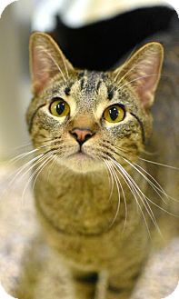 Domestic Shorthair Cat for adoption in Aiken, South Carolina - Haku
