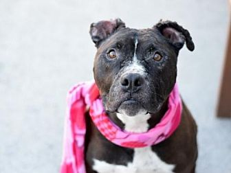American Staffordshire Terrier Mix Dog for adoption in Whitestone, New York - Apollo(ACC)