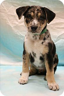 Australian Shepherd/Great Dane Mix Puppy for adoption in Staunton, Virginia - Ranger