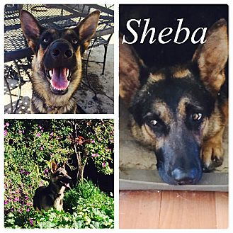 German Shepherd Dog Dog for adoption in Martinez, California - Sheba
