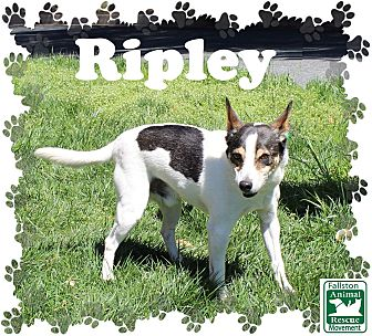 Rat Terrier Mix Dog for adoption in Fallston, Maryland - Ripley