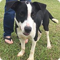 Adopt A Pet :: Starsky - Seabrook, NH