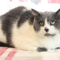Domestic Shorthair/Domestic Shorthair Mix Cat for adoption in Bristol, Indiana - Camilla
