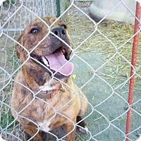 Adopt A Pet :: Sapphire - Hohenwald, TN