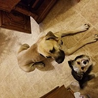 Adopt A Pet :: Maggie May - Chambersburg, PA