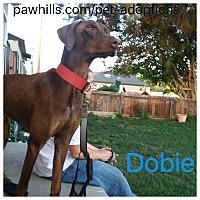 Adopt A Pet :: Dobie - Agoura Hills, CA