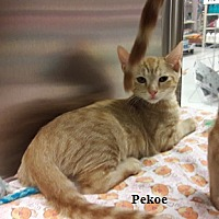 Adopt A Pet :: Pekoe - Fullerton, CA