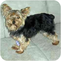 Yorkie, Yorkshire Terrier Mix Dog for adoption in Columbus, Ohio - Wickett