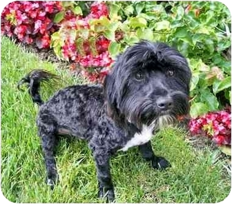 Poodle (Miniature)/Terrier (Unknown Type, Small) Mix Dog for adoption in Los Angeles, California - LANCELOT