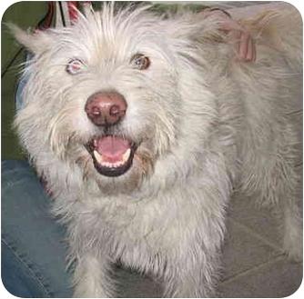 Wheaten Terrier/Westie, West Highland White Terrier Mix Dog for adoption in Richmond, Virginia - Jinx *Foster Me