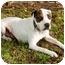 Photo 4 - Pointer/Boxer Mix Dog for adoption in Marina del Rey, California - Benny