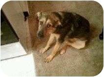 German Shepherd Dog/Alaskan Malamute Mix Puppy for adoption in Alliance, Nebraska - Reesie