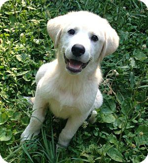 Labrador Retriever Mix Puppy for adoption in Brattleboro, Vermont - Buddy