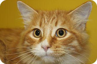 Domestic Mediumhair Cat for adoption in HARRISONVILLE, Missouri - Lucky Guy