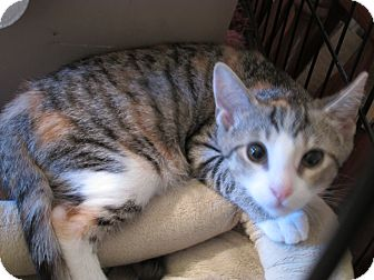 Domestic Shorthair Kitten for adoption in Acme, Pennsylvania - Holly