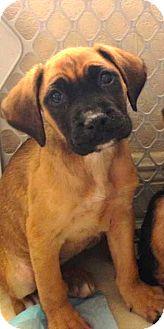 Boxer/German Shepherd Dog Mix Puppy for adoption in Miami, Florida - Natasha