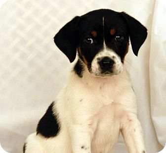 Beagle/Jack Russell Terrier Mix Puppy for adoption in Newland, North Carolina - Mimi