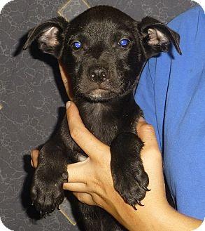 Terrier (Unknown Type, Medium) Mix Puppy for adoption in Oviedo, Florida - Jam