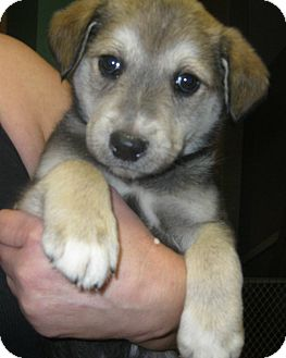 Shepherd (Unknown Type) Mix Puppy for adoption in Schaumburg, Illinois - Rebel