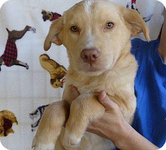 Golden Retriever/Labrador Retriever Mix Puppy for adoption in Oviedo, Florida - Kara