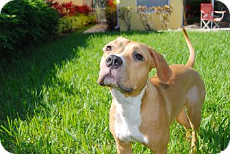 Pit Bull Terrier/Boxer Mix Puppy for adoption in Ft. Myers, Florida - Lilly