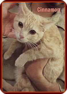 American Shorthair Kitten for adoption in Everman, Texas - Cinnamon