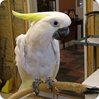 Cockatoo for adoption in Northbrook, Illinois - Johnnie