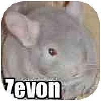 Adopt A Pet :: Zevon - Virginia Beach, VA