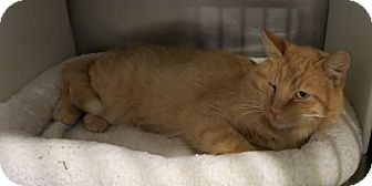Domestic Shorthair Cat for adoption in Geneseo, Illinois - Blink