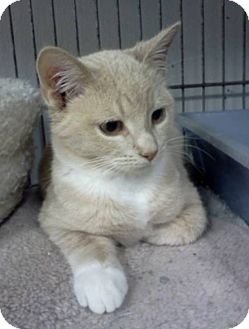 Domestic Shorthair Kitten for adoption in Albion, New York - Sputnik