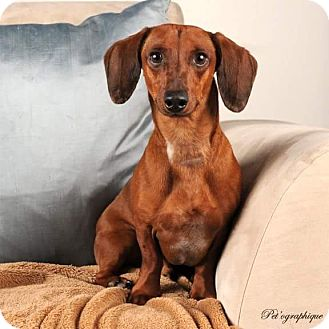 Dachshund Dog for adoption in Henderson, Nevada - Clancy