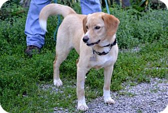 Labrador Retriever/Beagle Mix Dog for adoption in Parkville, Missouri - Mosby