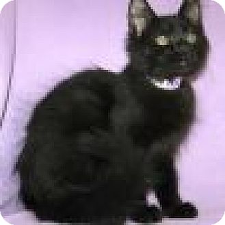 Domestic Mediumhair Cat for adoption in Powell, Ohio - Nanna