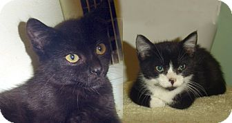 Domestic Shorthair Kitten for adoption in Cranston, Rhode Island - RUDY & RIOT