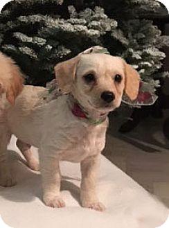 Poodle (Miniature)/Chihuahua Mix Puppy for adoption in Pleasanton, California - Nicholas