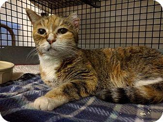 Domestic Shorthair Cat for adoption in Acushnet, Massachusetts - Eloise