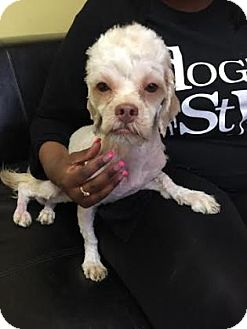Poodle (Miniature) Mix Dog for adoption in Philadelphia, Pennsylvania - Winnie